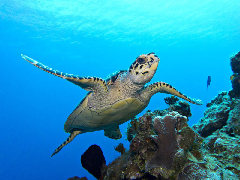 Little-Cayman-Turtle